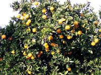 Citricos ornamentales viveros gregal alcanar sat n 4946 for Viveros alcanar