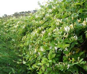 Madreselva etrusca intersemillas s a plataforma horticom - Madreselva planta ...